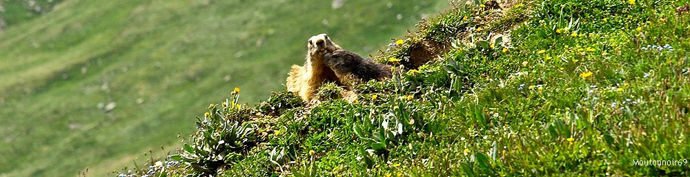 Pic : Two Marmots in the National Vanoise Parc, France / Credits: Moutonnoir69, CC-by-nc-nd, no changes made to image.